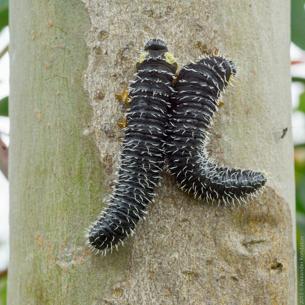 spitfire sawfly caterpillar