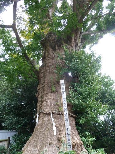 荏柄天神社 イチョウの木