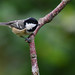Coal Tit by After-the-Rain