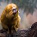 Golden Lion Tamarin by matthias.foto