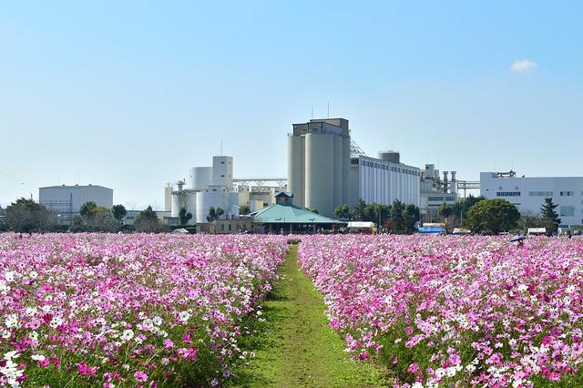コスモス畑 Cosoms field