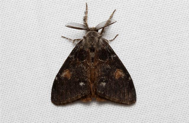 Orgyia pseudotsugata (Douglas Fir Tussock Moth) Hodges # 8312