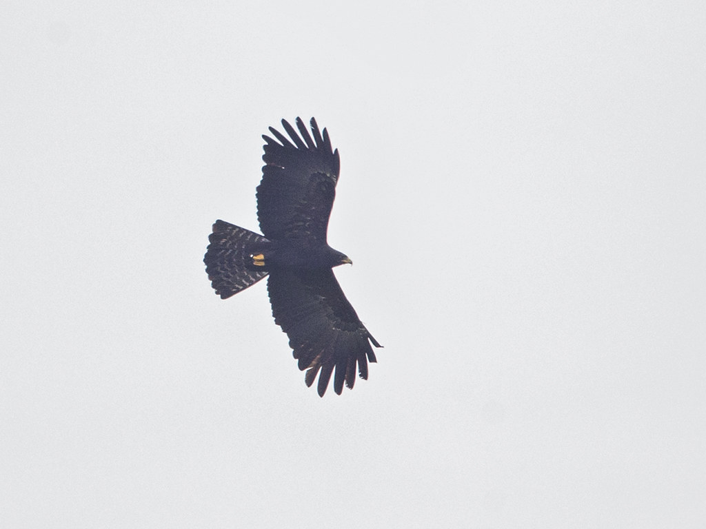 Black Eagle    Sri Lanka