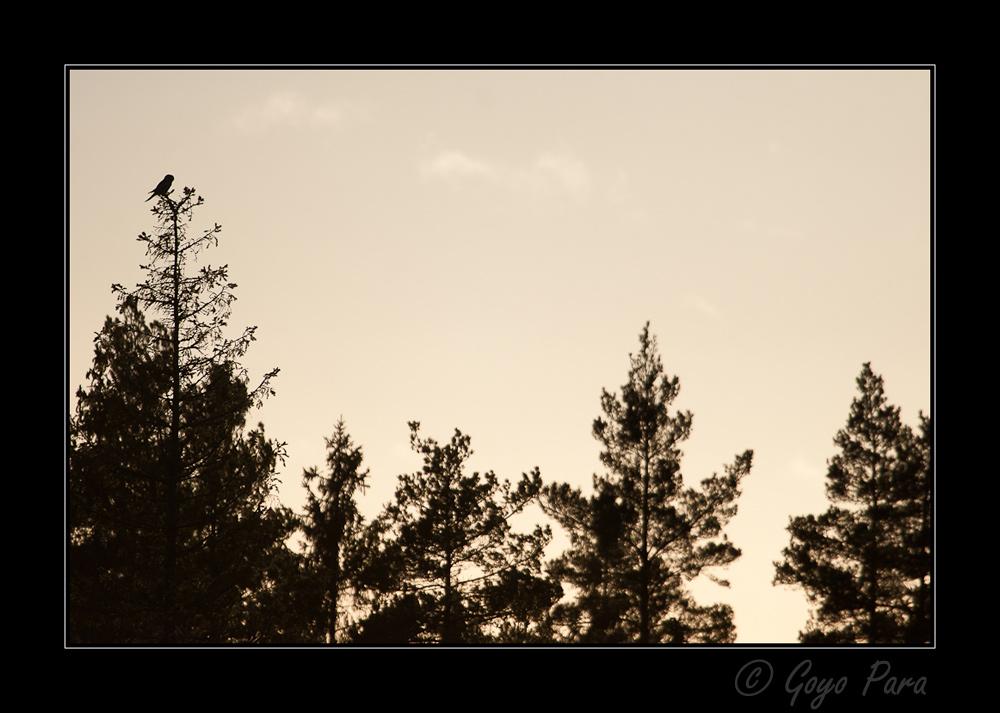 Northern Hawk-Owl Silhouette