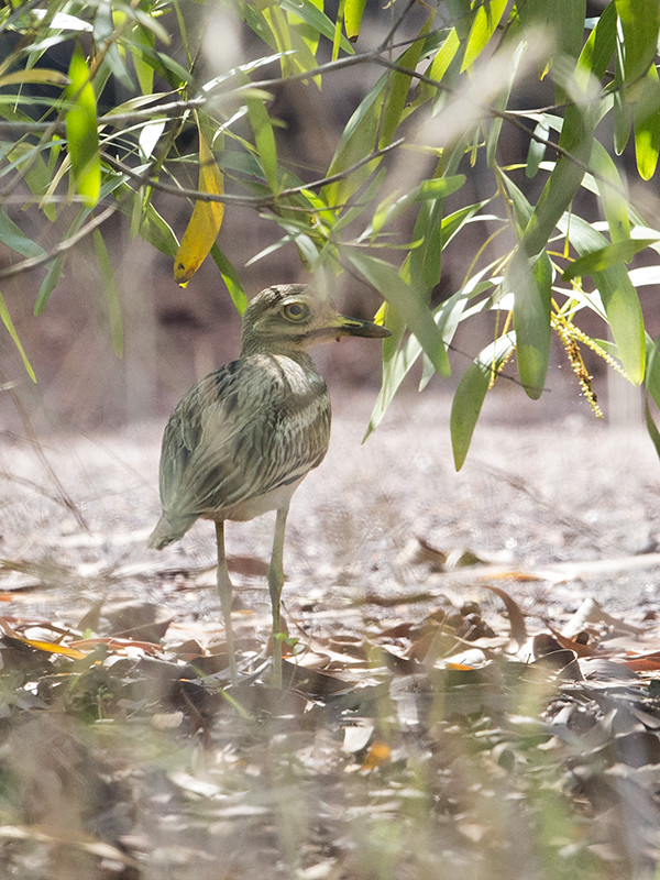 Greater Thick-knee    Sri Lanka