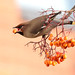 9P1A7499a Bohemian Waxwing (Moston Manchester) 2017 by Adrian Dancy