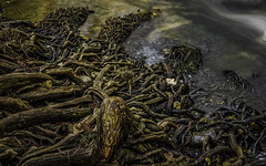 Knots - Roots and Knees of the Bald Cypress