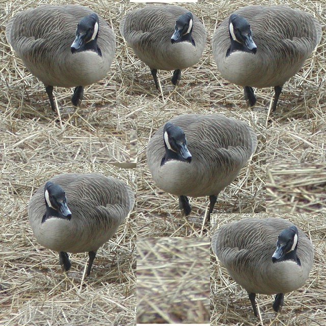 Six geese a-laying #sixthdayofchristmas