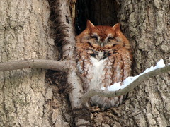 Eastern Screech-Owl, Westmoreland Co., PA 12/14/2016
