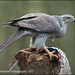 Goshawk by Mike Warburton Photography