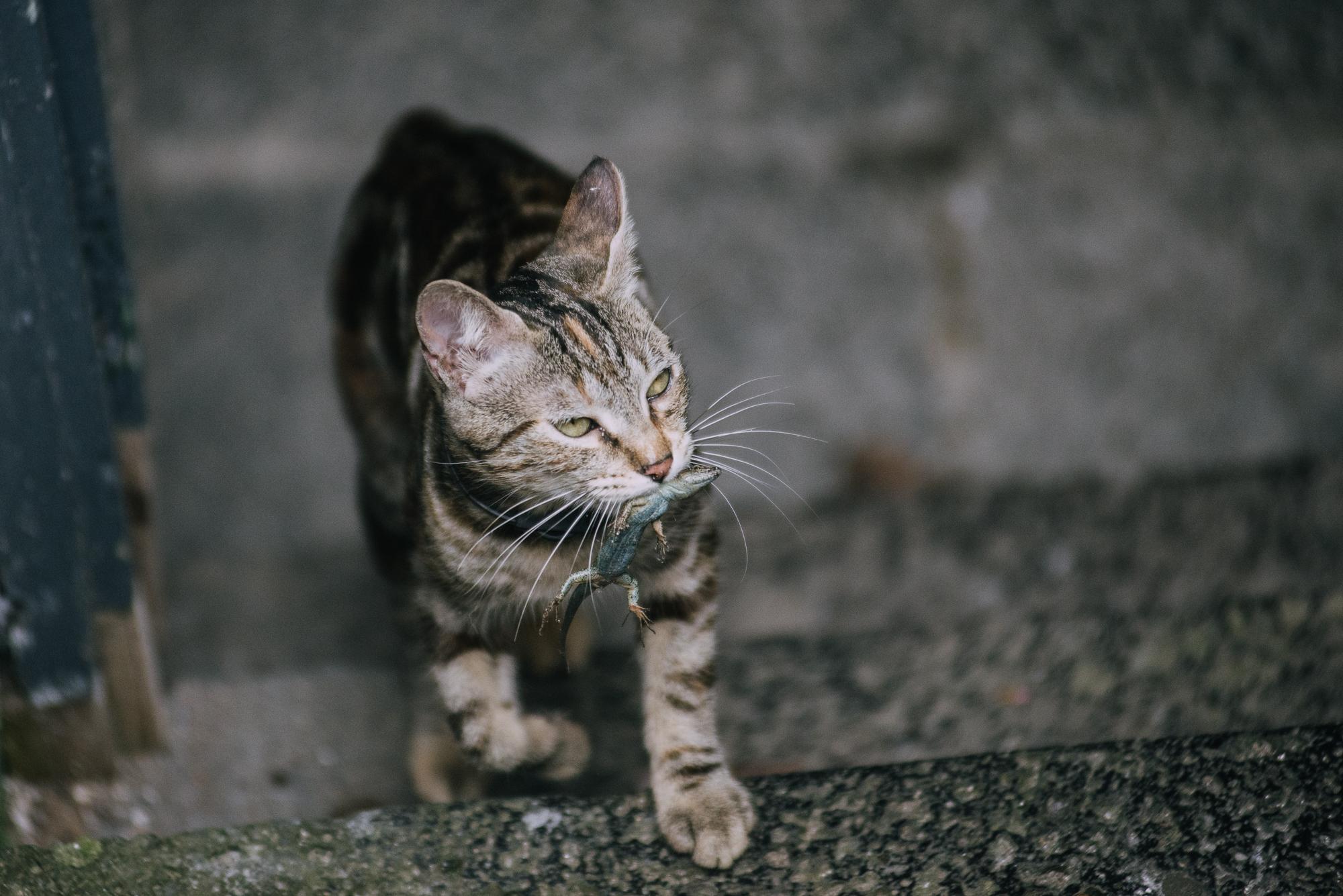 Macska játszik egy gyíkkal.