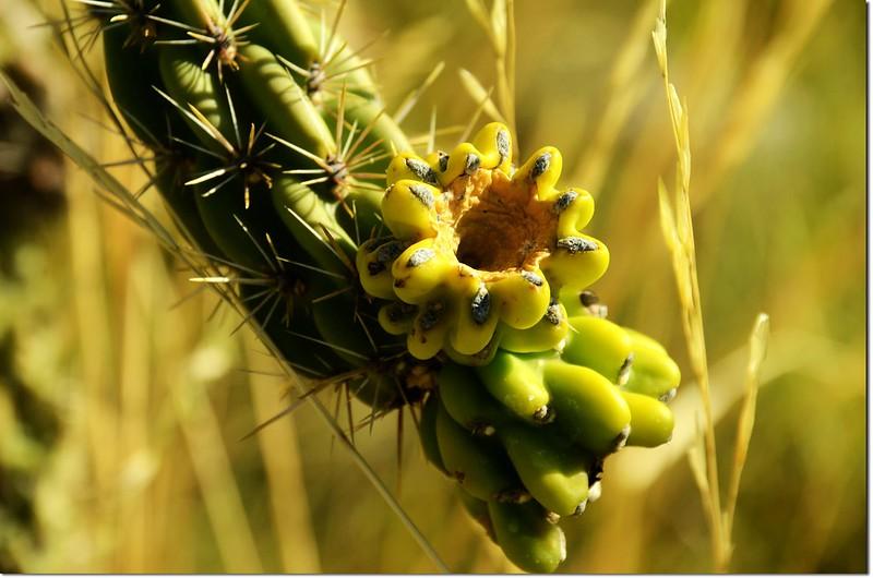 Cone Cholla Cactus 1