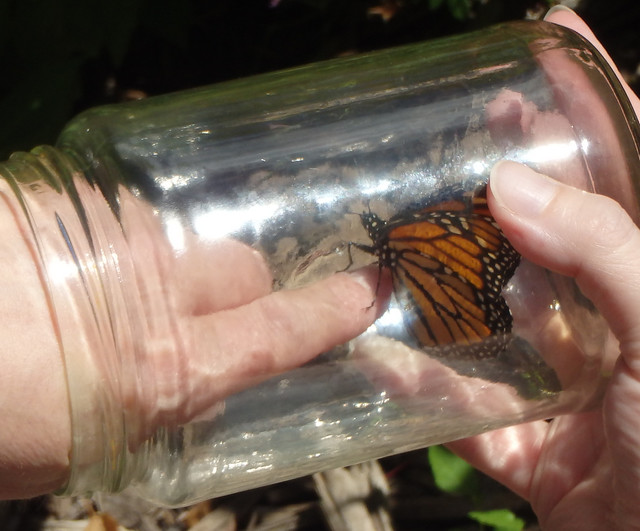 monarch climbing out of a jar
