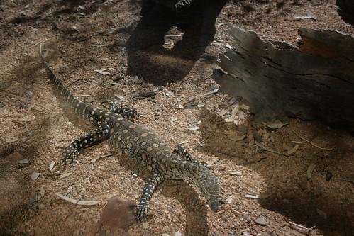 Perentie Alice Springs Desert Park