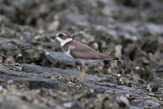 Semipalmated Plover-5.jpg