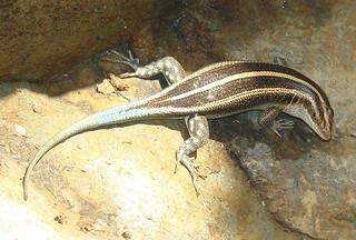 Trachylepis quinquetaeniata-- a Rainbow Skink