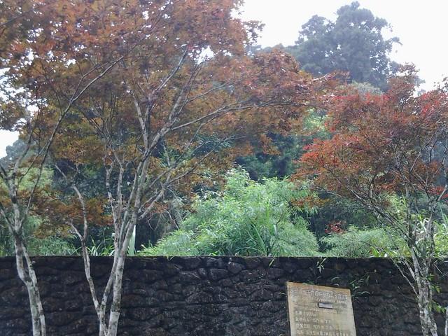溪頭的楓葉68
