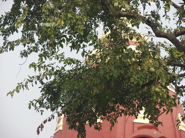 Aegle marmelos, Bael, Golden Apple, Stone Apple, Wood Apple, Bhel Tree