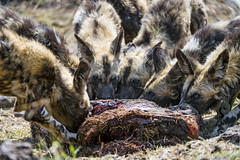 Young wild dogs and meat