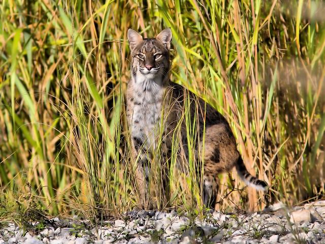 Bobcat HDR 01-20151020