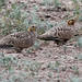 Pallas' Sandgrouse
