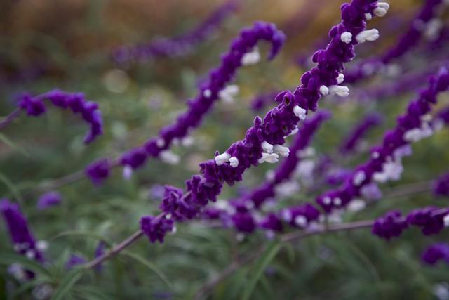 Mexican bush sage salvia leucantha