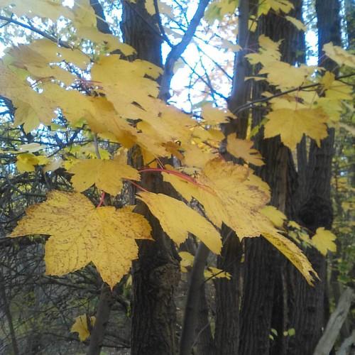 Maple leaves gone yellow #toronto #riverdaleparkwest #riverdalepark #autumn #maple #leaves