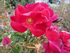 Semi-double roses