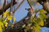 Red-bellied-Woodpecler-Melanerpes-carolinus