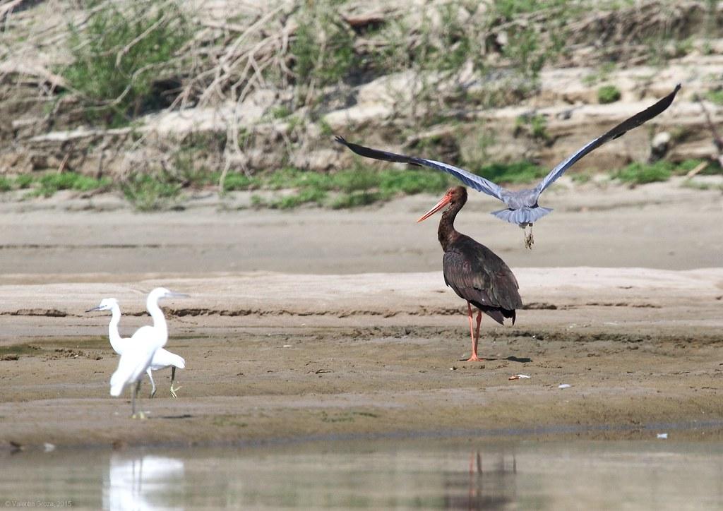 Black stork and heron