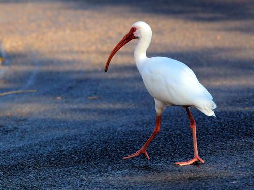 White Ibis 20161228
