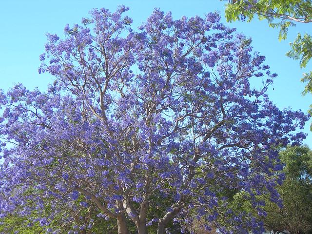 Jacaranda Tree, Nikon E7600