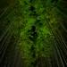 Arashiyama - Bamboo Forest by macabrephotographer