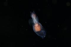 イクオハダカカメガイ Pneumoderma atlanticum pacificum
