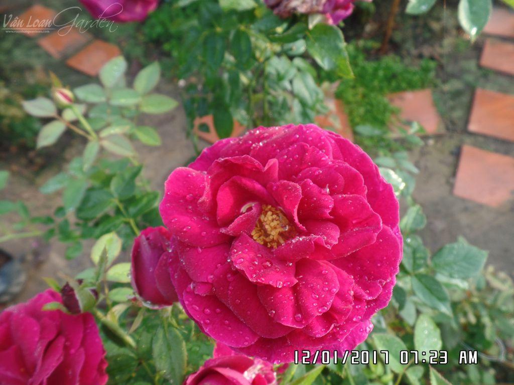 hoa hong ngoai the prince rose tai lang hoa sa dec (10)-vuonhongvanloan.com