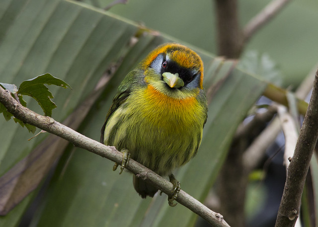 Eubucco bourcierii / Red-headed Barbet