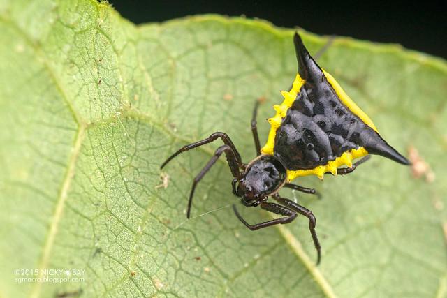 Thorn orb weaver (Micrathena pungens) - DSC_0792