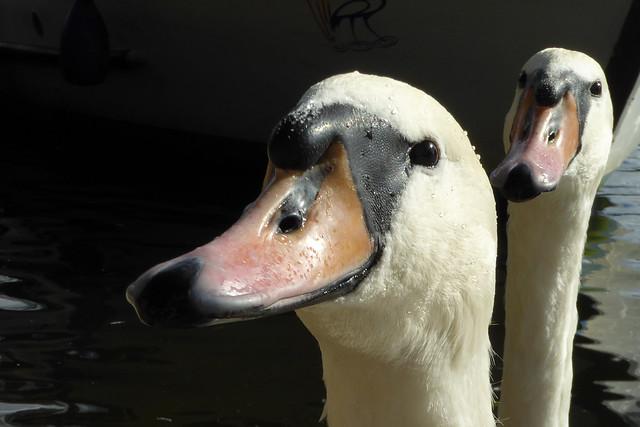 Swan photo-bombing