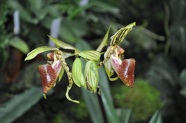 Multifloral Paphiopedilum