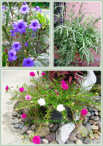 Ruellia brittoniana 'Purple Showers', Silver Lace Fern and Moss Rose plants of varying colours, July 31 2015