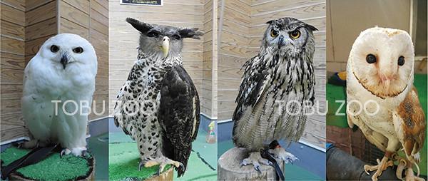 10/17(土)SL幸福のフクロウ号☆東武動物公園のフクロウ達がやってくる