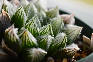 DSC_0613 ハオルチア 初夢殿 (夢殿交配種)  Haworthia hyb. ('Yumedono' x H. obtusa v. dielsiana f. acuminata)