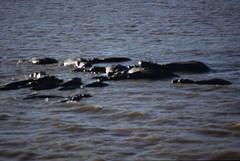 Hippopotamus amphibius DT [ZA St Lucia] 0112 (1)