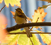 Black-Throated Green Warbler Lake Shore East Park 10-22-15 -5831