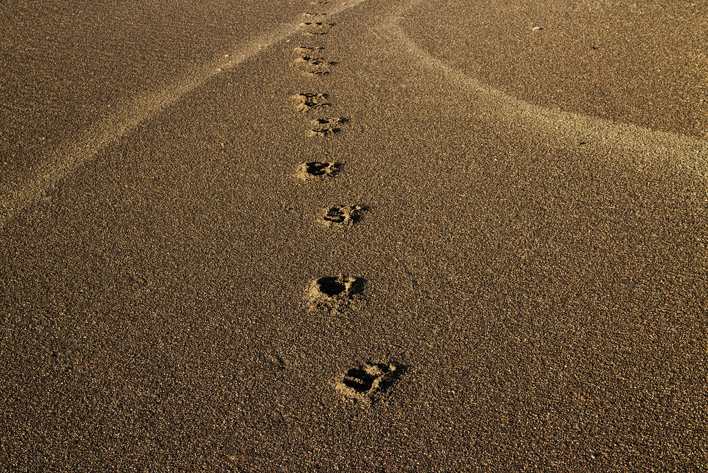A dog's footprints on Rialto Beach in Olympic National Park