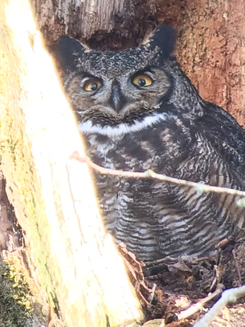 Great Horned Owl. Nisqually NWR.