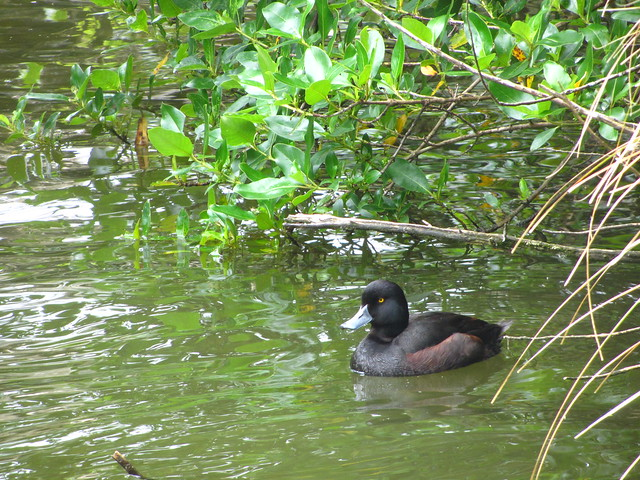 NZ Scaup - Zealandia