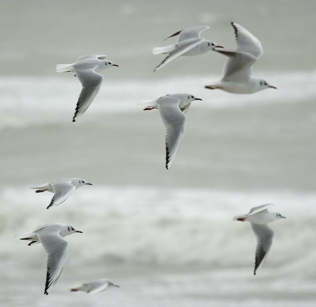 Black Headed Gulls In Flight