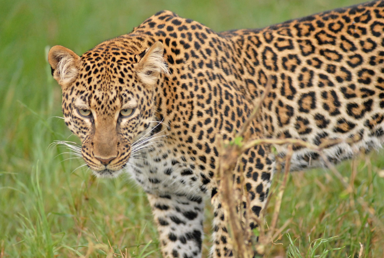 26605c7e09 Leopard (Panthera pardus)