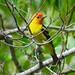Western Tanager (Piranga ludoviciana), male, War Creek Campground, near Twisp, WA by Jack and Petra Clayton